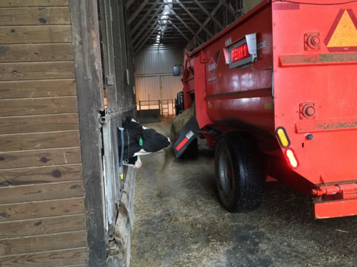 Cows getting fed.