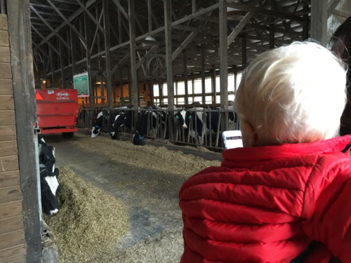 My grandson watches the cows being fed.