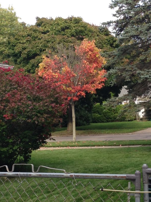 Tree changes color in Lansing