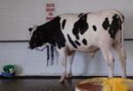 Bull_4
